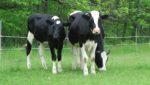 Dean Lane bnb is a working farm with cows